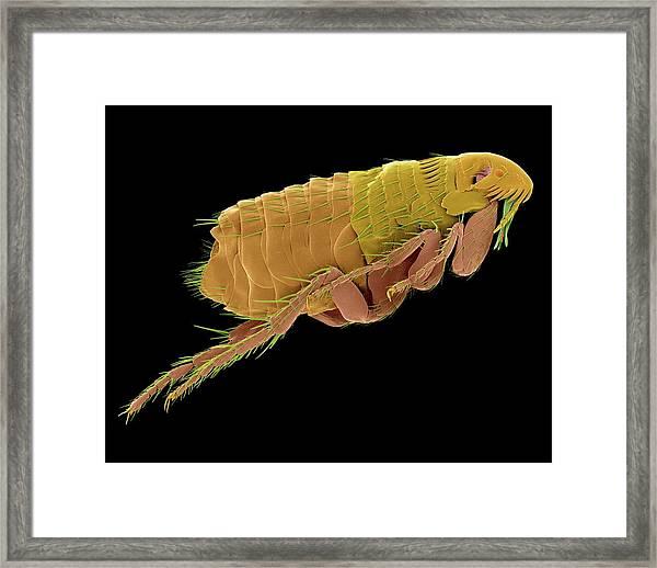 Cat Flea Framed Print
