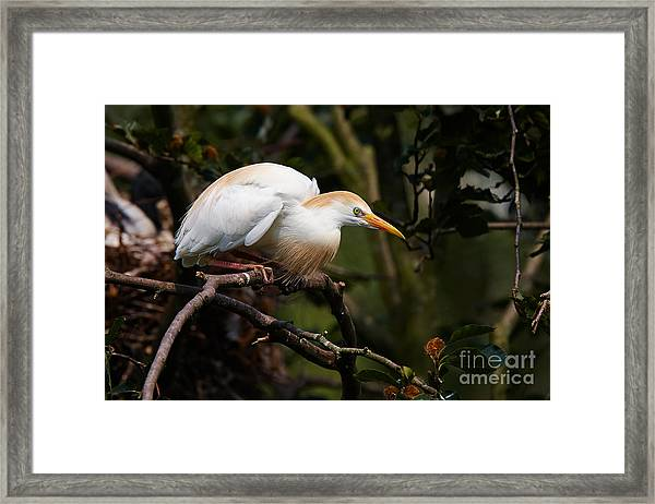 Cattle Egret In A Tree Framed Print