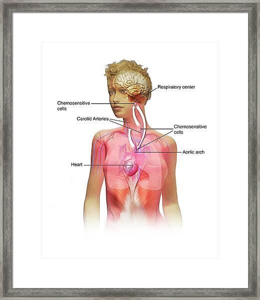 Chemoreceptors In Respiration Framed Print