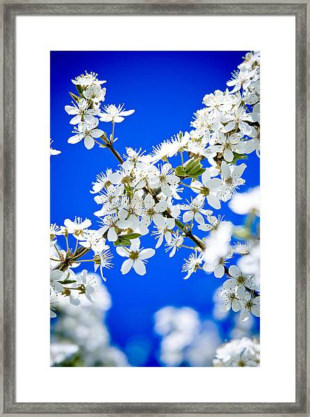 Framed Print featuring the photograph Cherry Blossom With Blue Sky by Raimond Klavins