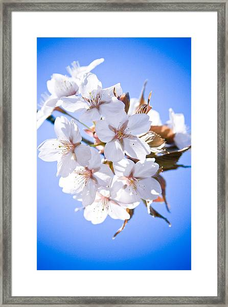 Framed Print featuring the photograph Cherry Tree Blossoms Close Up by Raimond Klavins