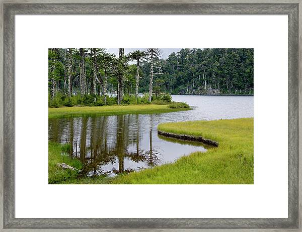 Chile South America Monkeypuzzle Trees Framed Print by Scott T. Smith