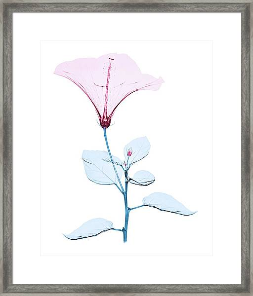 Chinese Hibiscus Flower Framed Print