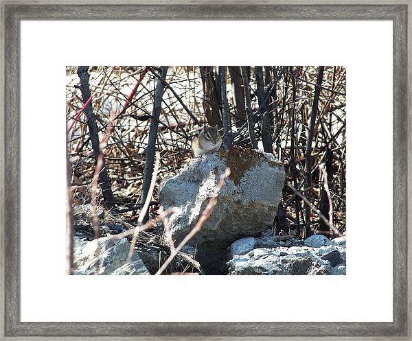 Chipmunk Framed Print by Gene Cyr