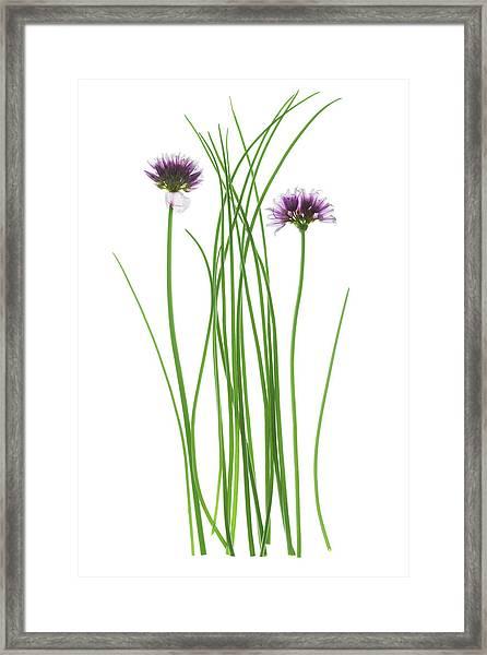 Chives (allium Schoenoprasum) Framed Print