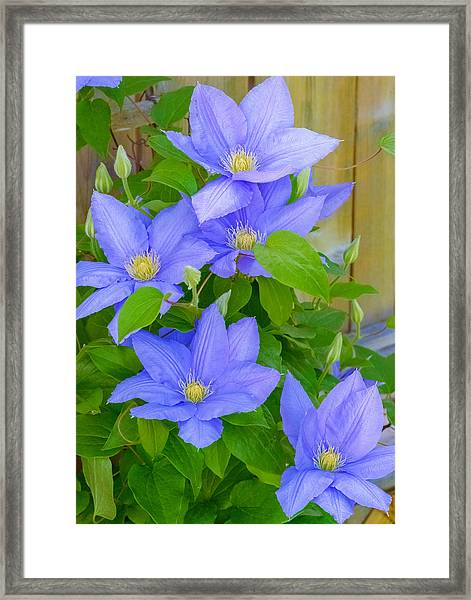 Framed Print featuring the photograph Clematis  by Garvin Hunter
