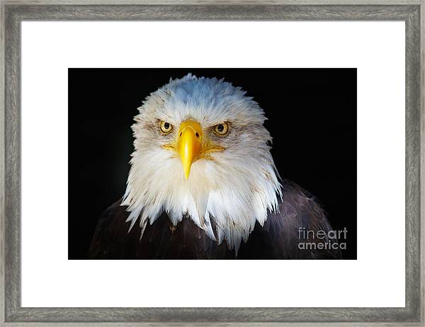 Closeup Portrait Of An American Bald Eagle Framed Print