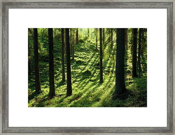 Coniferous Forest Framed Print