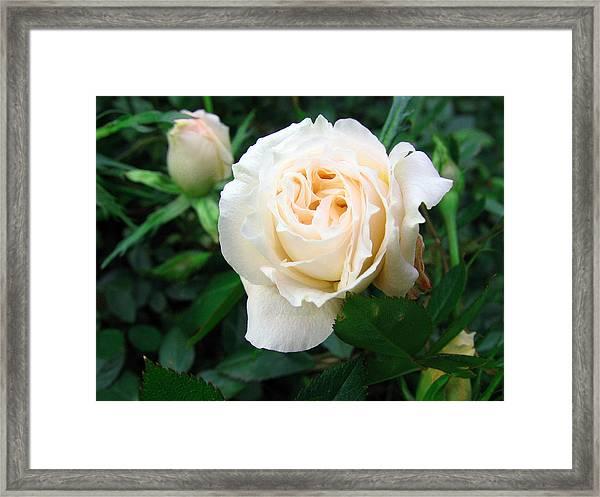 Cream Pot Rose Framed Print