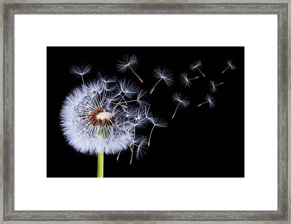 Dandelion Blowing Framed Print