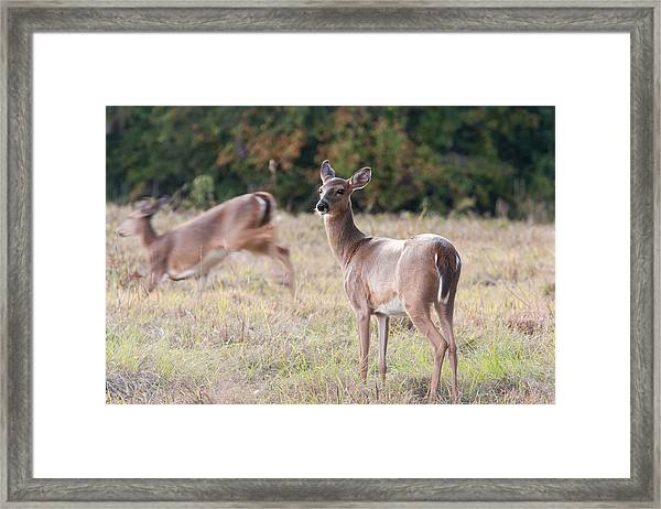 Deer At Paynes Prairie Framed Print