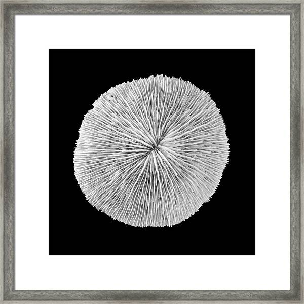 Disk Coral Or Fungia Coral Framed Print