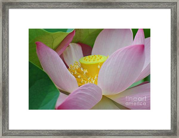 East Indian Lotus Framed Print