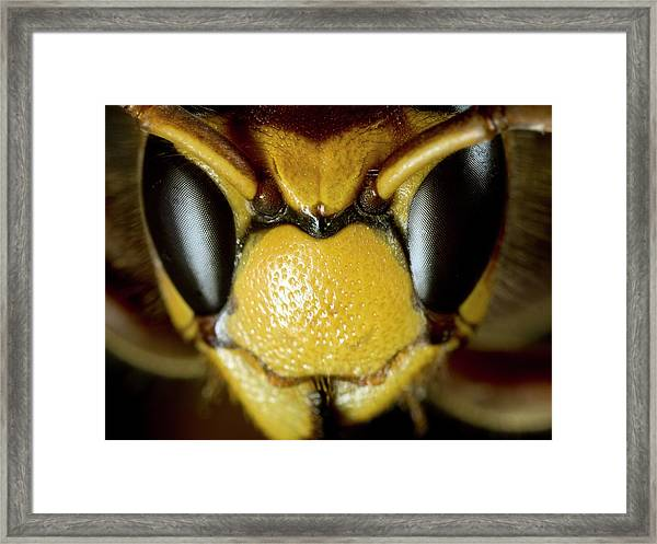 European Hornet Framed Print