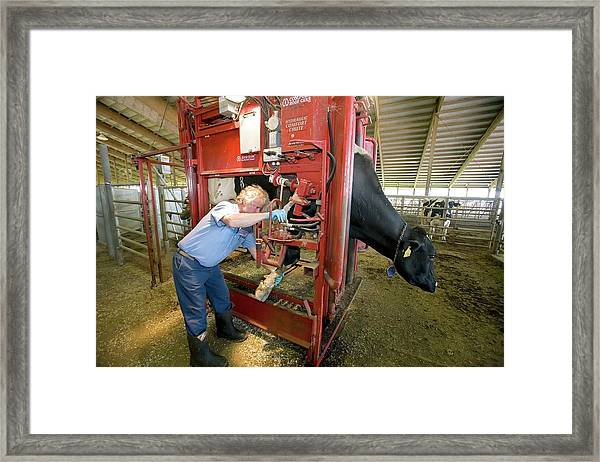 Farmer Checking A Cow's Hoof Framed Print by Jim West
