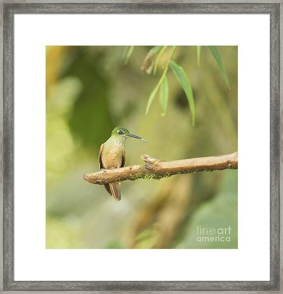 Fawn-breasted Brilliant Hummingbird Framed Print