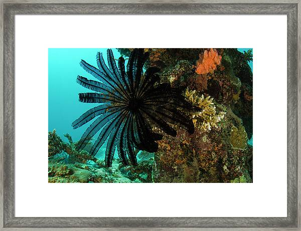 Feather Star (comasteridae Framed Print by Pete Oxford