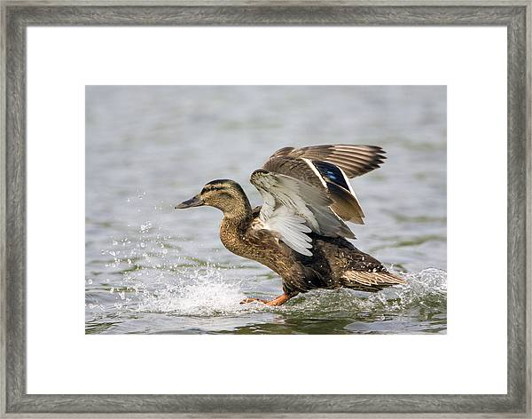 Female Mallard Duck Framed Print by John Devries/science Photo Library