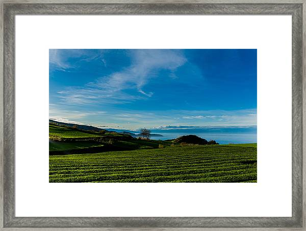 Field Of Tea Framed Print