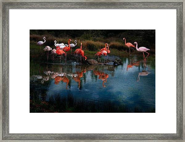Framed Print featuring the photograph Flamingo Convention by Melinda Hughes-Berland