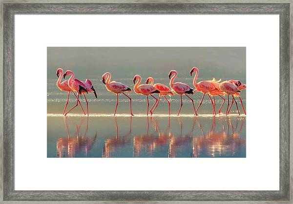Flamingo Framed Print by Phillip Chang
