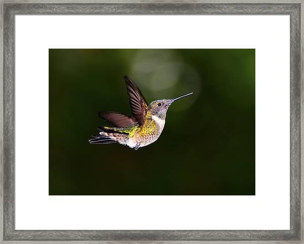 Flight Of A Hummingbird Framed Print