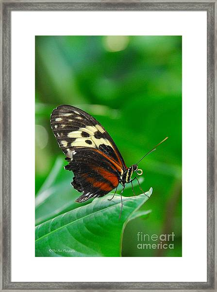 D5l15 Butterfly At Franklin Park Conservatory Framed Print