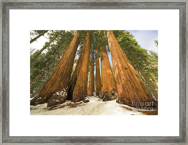 Giant Sequoias Sequoia N P Framed Print