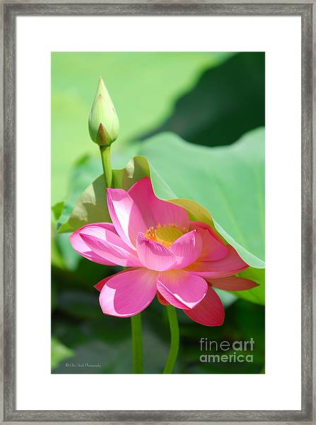 D48l-96 Water Lily At Goodale Park Photo Framed Print