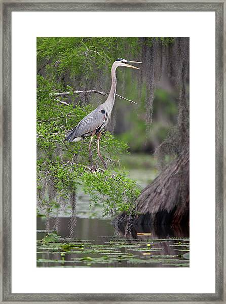 Great Blue Heron (ardea Herodias Framed Print