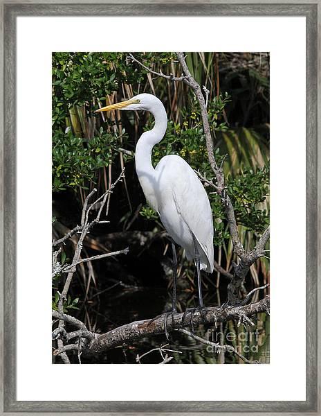 Great Egret Perched In Fallen Tree Framed Print