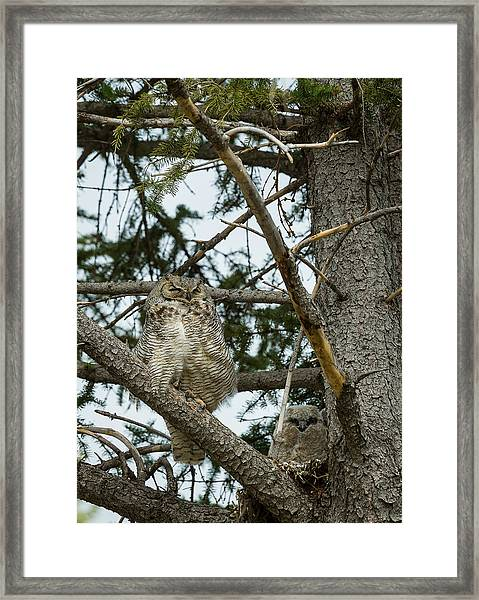 Great Horned Owls Framed Print