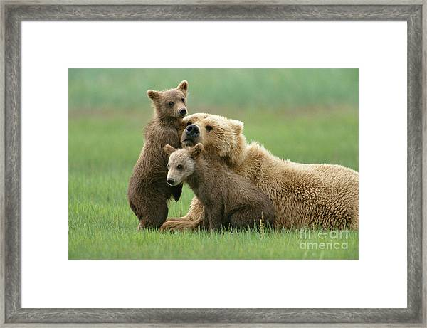 Grizzly Cubs Play With Mom Framed Print