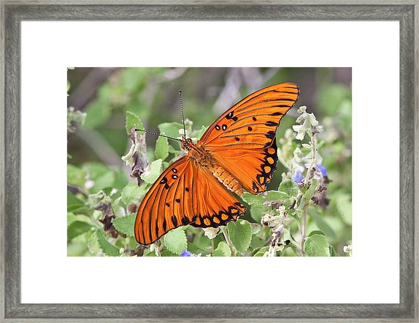 Gulf Fritillary (agraulis Vanillae Framed Print by Larry Ditto
