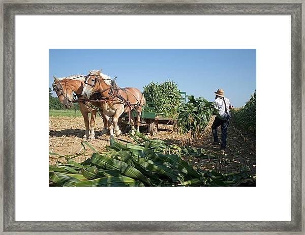 Harvest On An Amish Farm Framed Print