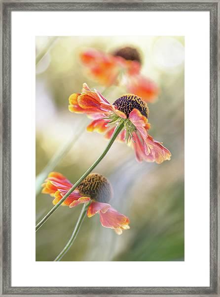 Helenium* Framed Print by Mandy Disher