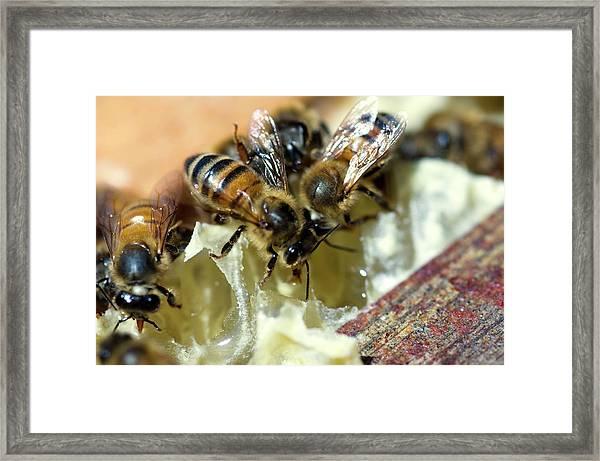Honeybees Framed Print