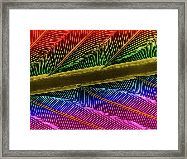 Hummingbird Feather Shaft Framed Print by Dennis Kunkel Microscopy/science Photo Library