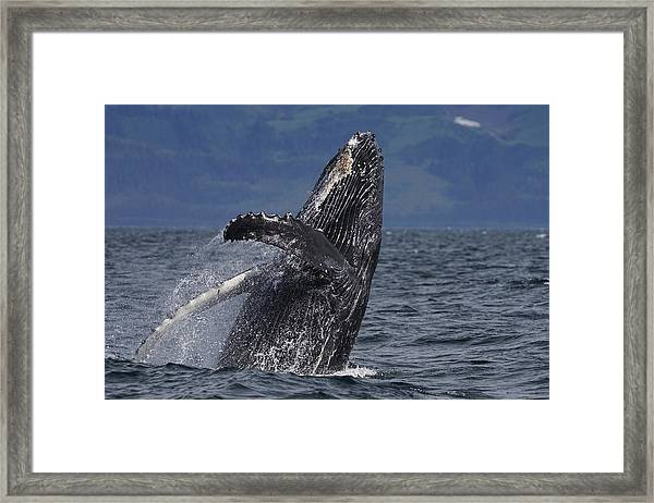 Humpback Whale Breaching Prince William Framed Print