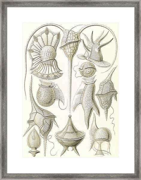 Illustration Shows Microorganisms. Peridinea Framed Print by Artokoloro