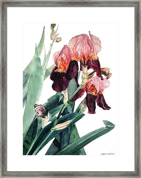 Watercolor Of A Pink And Maroon Tall Bearded Iris I Call Iris La Forza Del Destino Framed Print