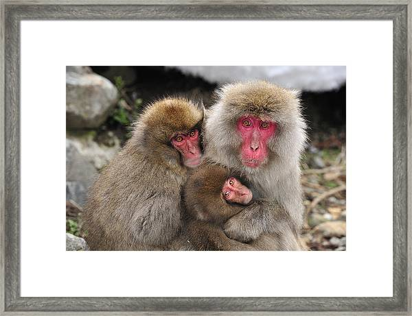 Japanese Macaque Mother With Young Framed Print