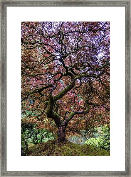 Japanese Maple Tree Framed Print by Mike Centioli