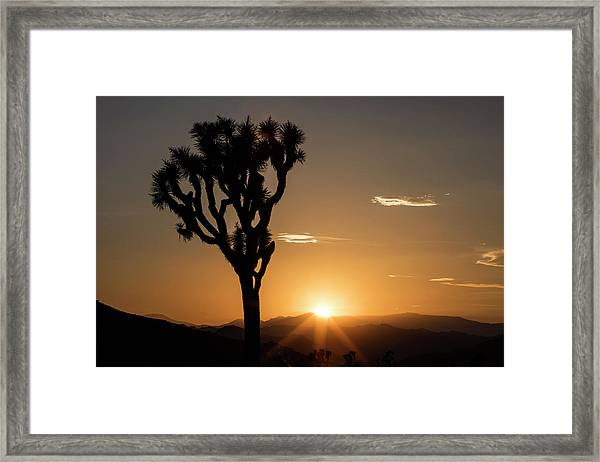 Joshua Tree (yucca Brevifolia) At Sunset Framed Print by Michael Szoenyi