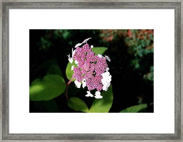 Lacecap Hydrangea Framed Print