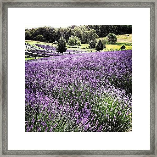Lavender Farm Landscape Framed Print