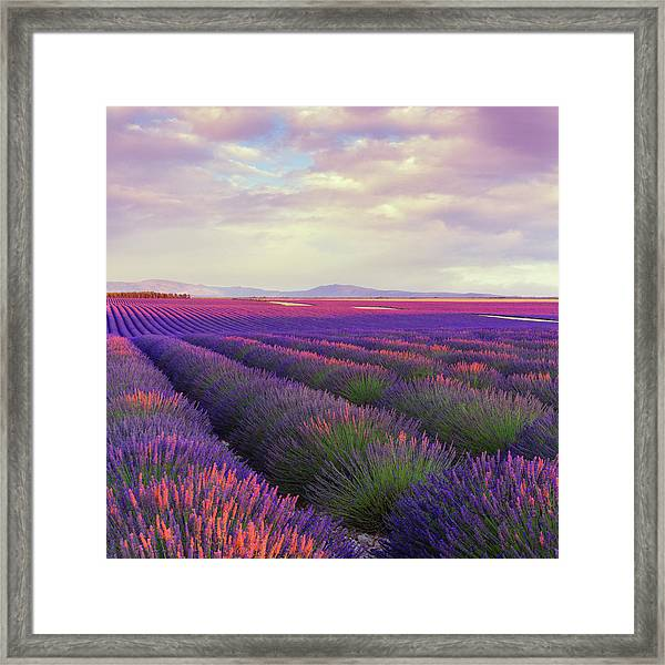 Lavender Field At Dusk Framed Print