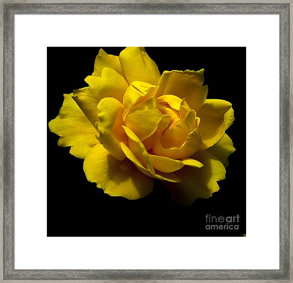 Lemon Rose Framed Print