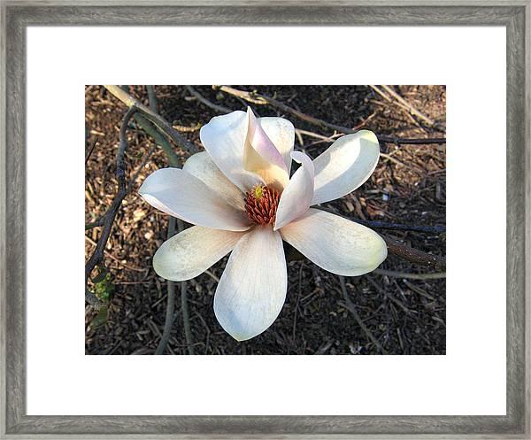 Magnolia 5 Framed Print