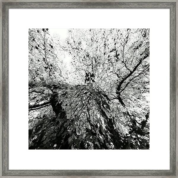 Maple Tree Inkblot Framed Print